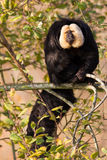 White-faced Saki (Pithecia pithecia). Or also known as Golden-face saki monkey in a tree Royalty Free Stock Photo
