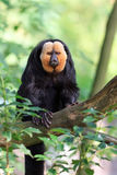 The white-faced saki. Pithecia pithecia, aka Guianan saki and golden-faced saki, a species of the New World monkey`s. They can be found in Brazil, French Guiana Royalty Free Stock Photo
