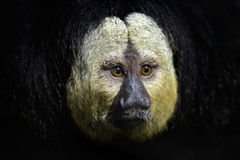 White-faced Saki, Pithecia pithecia, detail portrait of dark black monkey with white face, animal in the nature habitat, wildlife,. Brazil Stock Images