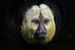 White-faced Saki, Pithecia pithecia, detail portrait of dark black monkey with white face, animal in the nature habitat, wildlife, Stock Images