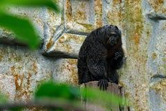 White-faced Saki, Pithecia pithecia, detail portrait of dark black monkey with white face, animal in the nature habitat, wildlife, Royalty Free Stock Photos