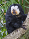 White-faced saki (Pithecia pithecia) monkey. Stock Image