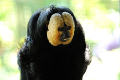 White-faced Saki. (Pithecia pithecia) in singapore zoo Stock Photos
