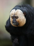 White faced saki. Portrait of a White faced saki Stock Photos