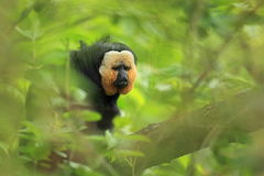 White-faced saki. Sitting on the tree Stock Images