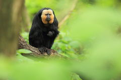 White-faced saki Stock Images