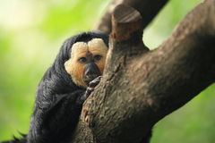 White-faced saki Stock Photos