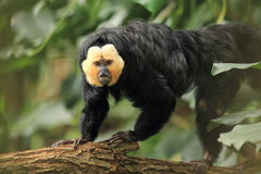 White-faced saki. The white-faced on the wood Stock Image
