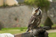 White-faced scopes owl Royalty Free Stock Photos