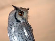 White faced scops owl, closeup. Stock Photos