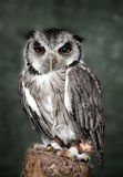 White faced scops owl Stock Photos