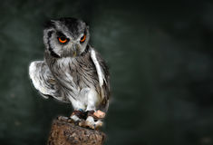 White faced scops owl Stock Photo