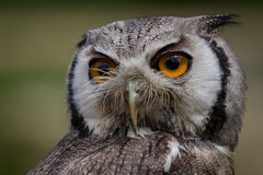White-faced Scops Owl Royalty Free Stock Photography