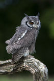 White-Faced Scops Owl (Ptilopsis Leucotis) Royalty Free Stock Images