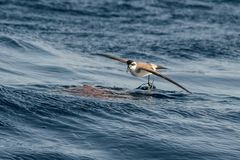 A White-faced Storm Petrel or White-faced Petrel seabird, feedin. G on dead fish on the water surface near Madeira island, North Atlantic ocean Stock Photo