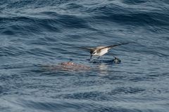 A White-faced Storm Petrel or White-faced Petrel seabird. A White-faced Storm Petrel or White-faced Petrel seabird, feeding on dead fish on the water surface Royalty Free Stock Images