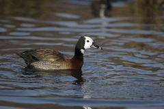 White faced tree duck, Dendrocygna viduata Royalty Free Stock Photography