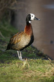 White faced tree duck, Dendrocygna viduata Royalty Free Stock Photo