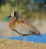 White-faced whistling duck. A white-faced whistling duck standing close to a river Royalty Free Stock Image