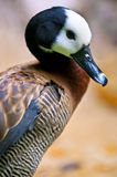 White-faced Whistling Duck Royalty Free Stock Images