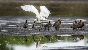 Free White-faced Whistling-Duck And African Spoonbill In Kruger National Park, South Africa Stock Photos - 68835573