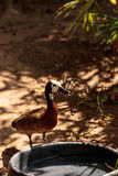 White-faced Whistling duck called Dendrocygna viduata. Is found in both America and Africa Stock Photo