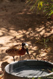 White-faced Whistling duck called Dendrocygna viduata. Is found in both America and Africa Royalty Free Stock Photo