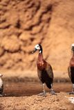 White-faced whistling duck called Dendrocygna viduata. Is found in South Africa Royalty Free Stock Image