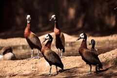 White-faced whistling duck called Dendrocygna viduata Stock Images