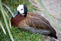 White-faced Whistling Duck - Dendrocygna viduata Stock Images