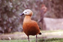 A White-Faced Whistling-Duck Dendrocygna Viduata. In the field. it has a long grey bill, a long head and longish legs. it has black neck and head, and Stock Images
