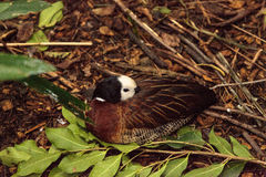 White faced whistling duck Dendrocygna viduata. Sleeps in a wooded area Royalty Free Stock Images