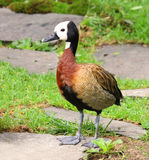 White Faced Whistling Duck Dendrocygna viduata White-Faced Royalty Free Stock Photography