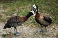 White-faced whistling duck (Dendrocygna viduata). Stock Photography