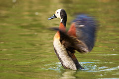 White-faced Whistling-Duck Flapping Royalty Free Stock Photo