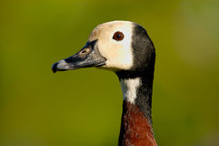 White-faced Whistling-Duck Head Closeup Stock Image