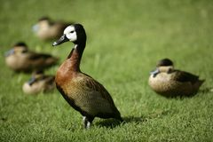 White faced Whistling duck from Madagascar Royalty Free Stock Images