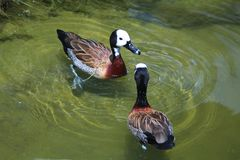 The white-faced whistling duck - scientific name Dendrocygna viduata. The white-faced whistling duck, a whistling duck that breeds in sub-Saharan Africa and much Stock Photos