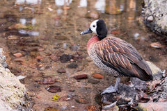 White Faced Whistling Duck Stock Images