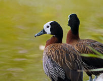 White-faced Whistling Duck Royalty Free Stock Photo