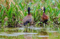 White-faced whistling ducks. Two white-faced whistling ducks close to a river Stock Photography