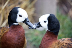 White-faced Whistling Ducks - Dendrocygna viduata Stock Image