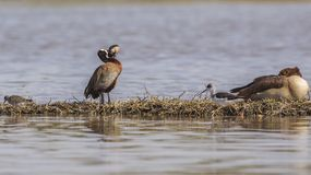 White-faced Whistling Duck and Egyptian Goose. White-faced whistling ducks, Dendrocynia viduata, woo while Egyptian goose sleeps on island in Ziway, Ethiopia royalty free stock image