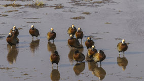 White faced whistling ducks Stock Photo