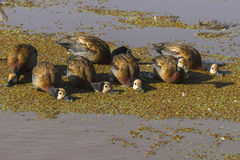 White faced whistling ducks Stock Photography