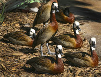 White-Faced Whistling Ducks Stock Image