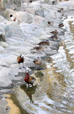 White-faced Whistling Ducks near the pond Stock Images