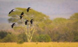 White-faced Whistling Ducks Royalty Free Stock Photography