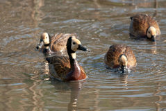 White-faced Whistling Ducks Royalty Free Stock Photo