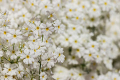 White fairy primrose flowers Stock Photography